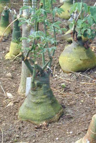 Adenia fruiticosa