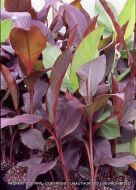 Canna musifolia 'Red'