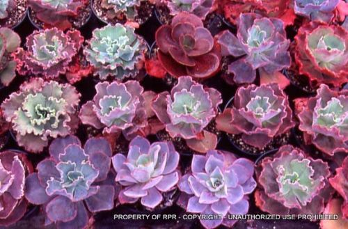 Echeveria hybrids