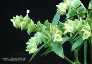 Euphorbia lagunillarum