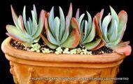 Kalanchoe thrysiflora