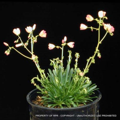 Lewisia columbiana v. rupicola