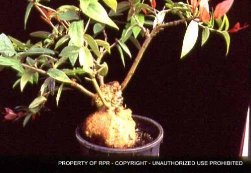Macleania insignis