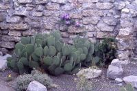 Opuntia cycloides