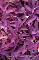 Tradeescantia 'Purple Heart'